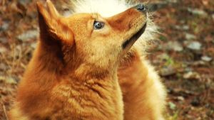 Hilma-koira kuuntelee lintuja.
