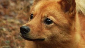 Hilma-koira metsällä.