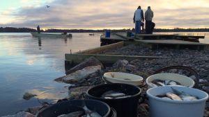 Hoitokalastusta jatkettiin tänä vuonna pidempään kuin tavallisesti. Keskiviikkona 2. joulukuuta ilmaista kalaa oli hakemassa vain muutamia ihmisiä.