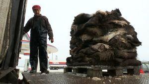 Kemijärvellä kuormattiin yhdestä keräilypisteestä parisataa hirventaljaa Kemin Nahkatarvike Oy:lle.
