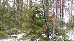 Kaksi kuusta rinnakkain, joista toisessa on punainen nauha.
