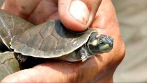 Kilpikonnanpoikanen