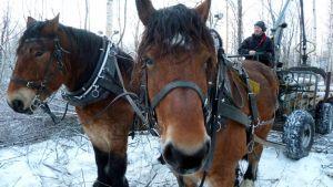 Työhevoset Tarmo ja Tarsan sekä Peter Ekholm metsässä puunkeruussa.