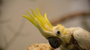 Otto-kakadu asuu Heinolan lintutarhassa.