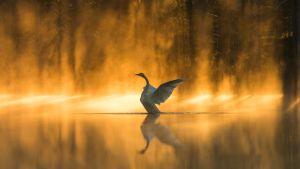 """Valokuva """"kultainen joutsen"""" Pekka Ovaskaisen luontokuvanäyttelystä."""