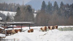 Lehmiä Val di Fiemmen hiihtostadionin vieressä.