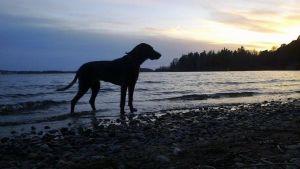 Koira rantavedessä