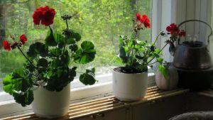 Pelargonioita mökin ikkunalaudalla