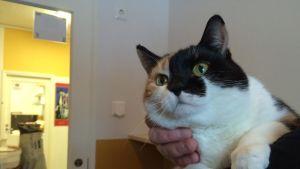 Iines-kissa etsii itselleen uutta kotia Mikkelin löytöeläintalossa.