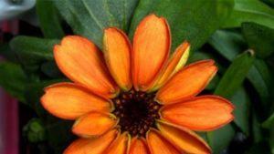 Oranssi tsinnia