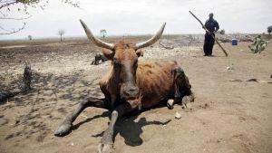 Kuivuudesta kärsivä lehmä makaa maassa Zimbabwessa.