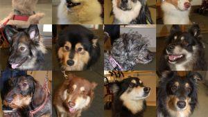 Kaksitoista koiraa, jotka ovat Karva-kavereita