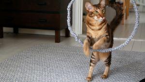 Kissa loikkaa renkaan läpi