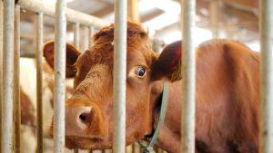 Lehmä katselee aitauksen takaa.