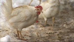 Kana ulkoilmassa.