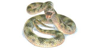 Piirretty käärme.