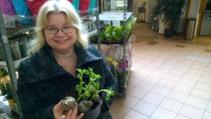 Geenivaratutkija Maarit Heinonen iloitsee Satakunnasta löytyneestä Suomen vanhimmasta tunnetusta perunalajikkeesta.