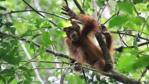 Oranki Mount Leuserin kansallispuistossa Indonesiassa.