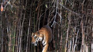 Intiantiikeri Van Viharin kansallispuistossa Bhopalissa, Intiassa.