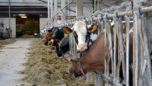 Lehmät syövät rehua navetassa.