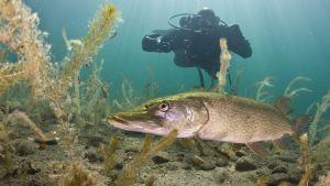 Sukeltaja Kiteen Valkiajärvellä kuvaamassa kaloja.