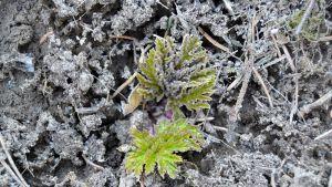 Jättiputken nuorta kasvustoa kevään pakkasaamuna