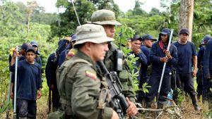 Poliisi valmistautuu repimään käsin kokapensaita San Miguelissä