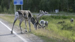 Poroja maantienlaidassa