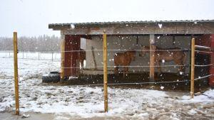 Kaksi hevosta seisoo ulkoaitauksessa lumisateessa.