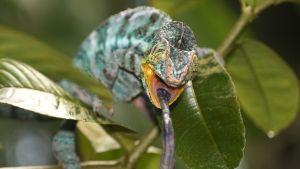 Pantterikameleonttiuros nappaa hyönteisen.