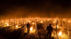 Sveitsissä Grisonsin alueen viininviljelijät koettavat suojata satoaan poikkeuksellisen kylmältä säältä polttamalla suuria kynttilöitä taimien läheisyydessä.