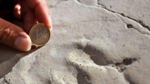 Yksityiskohta dinosauruksen jalanjäljestä keskisaksalaisen Hallen kaupungin esihistorian museossa. Mittakaavaa on antamassa euron kolikko.