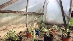 Taimia kasvihuoneessa