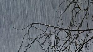 Kuusenoksa sateessa