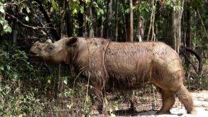 Kahdeksanvuotias sumatransarvikuono Harapan tutki ympäristöä Way Kambasin kansallispuistossa Indonesiassa marraskuussa 2015.