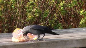 lintu syö munkkia