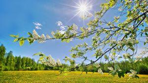 Aurinko paistaa ja tuomi kukkii.