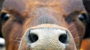 Lehmän turpa