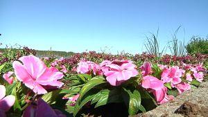 Kukkisa Tornion Länsirannalla
