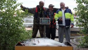 Kuvassa kolme miestä ja yli 20-kiloinen merilohi.
