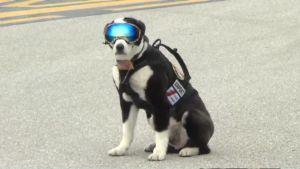 Koira lentokentän kiitoradalla suojalasit päässä