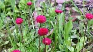 Punaisia kukkia kukassa.