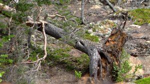 Tuulen kaatama puu.