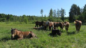 Hevosia laitumella.