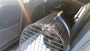 Kissa kuljetushäkissä, joka on kiinnitetty turvavyöllä takapenkille