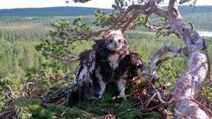 Savukoskelainen Jarmo Ahtinen kuvasi 500. rengastamansa maakotkan poikasen.
