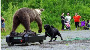 Tältä noutajalta ei puutu rohkeutta. Tosi tilanteessa liiallinen rohkeus voi koitua myös koiran kohtaloksi.