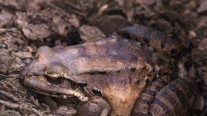 Leptodactylus fallax eli Vuorikanasammakko.