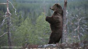 Karhu nojaa puuhun ja katselee maisemia.