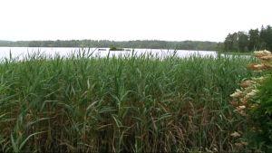 Järven ranta jossa on paljon kaislikkoa